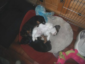 puppies cavalier sleeping tan, black and tricolor
