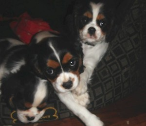 Play time cavaliers tricolor
