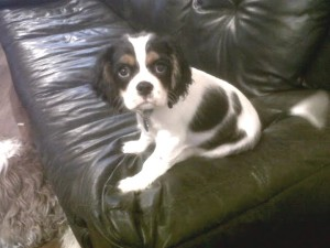 Spot tricolor cavalier puppy on couch