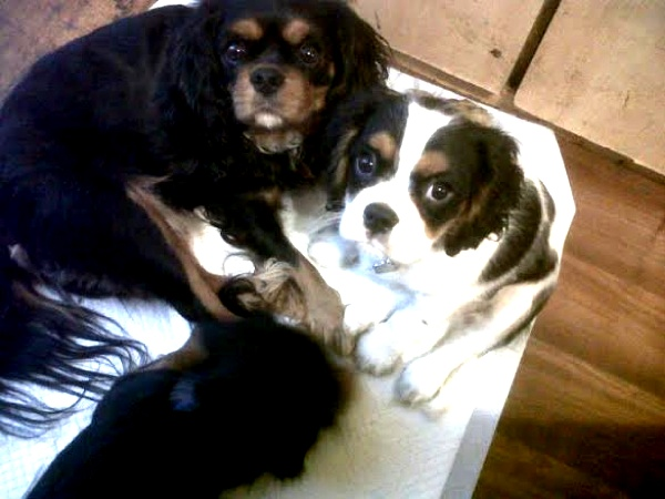 Spot cavalier puppy with tan and black girl