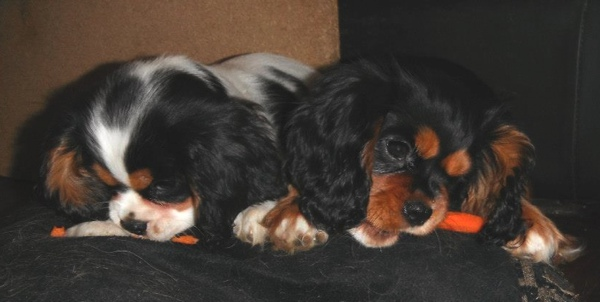 Tricloror and black and tan puppy carrtos