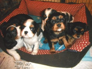family cavalier puppies