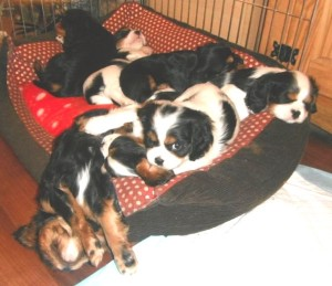 cavaliers sleeping except one