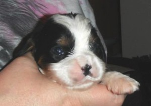 hi guys, puppy spot cavalier tricolor days old