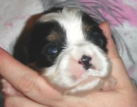 prince-spot-cavalier-king-charles-puppy