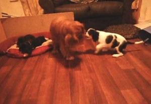 puppy Playing with mommy dog