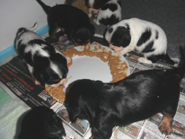 solid food Cavallier puppies
