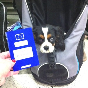 Pet passport Spot tri-color cavalier king charles