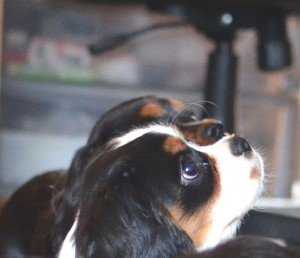 King Charles puppy tri color and tan