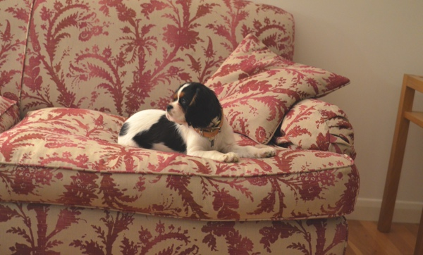 cavalier puppy spot on red couch