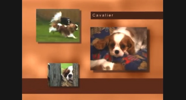 Owner Guide Cavalier King Charles Spaniel Video