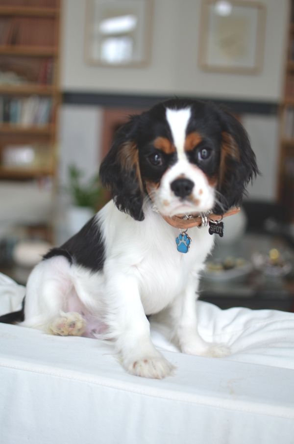 Spot Cavalier King Charles living room