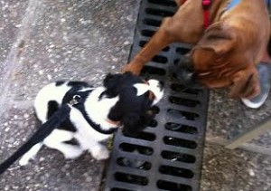 Spot-and-Maximo cavalier king charles and boxer