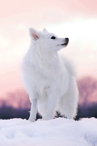koko snow white dog