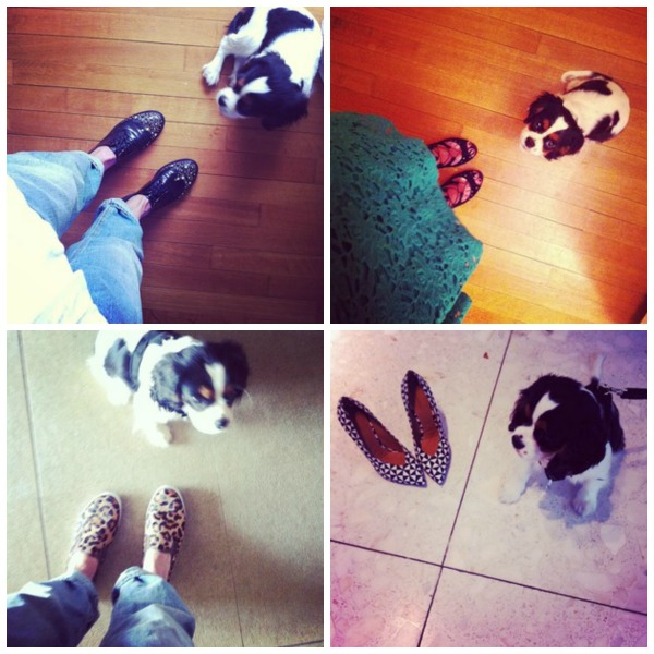 Cavalier King Charles Spot and designer shoes