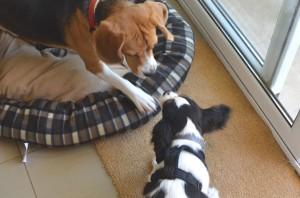 Dog paly date beagle and cavalier