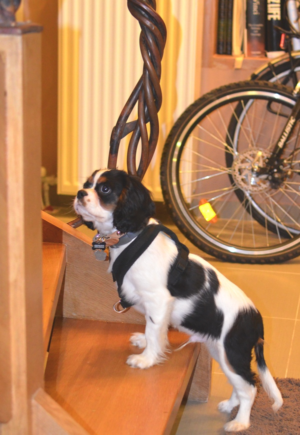 cavalier tricolor puppy stairs