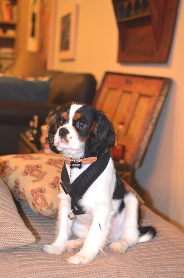 King charles living room, harness black