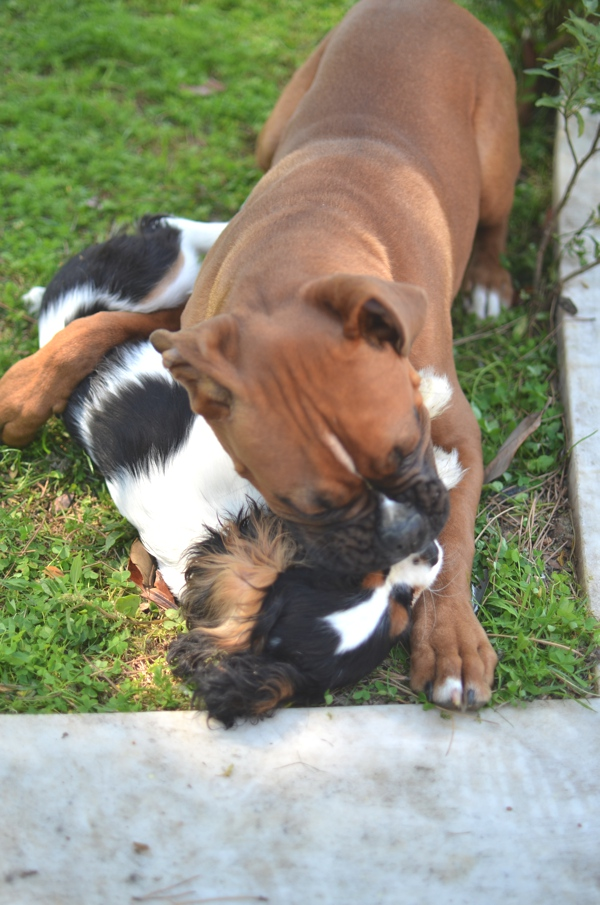 Spot cavalier king charles and maximo baby boxer playing