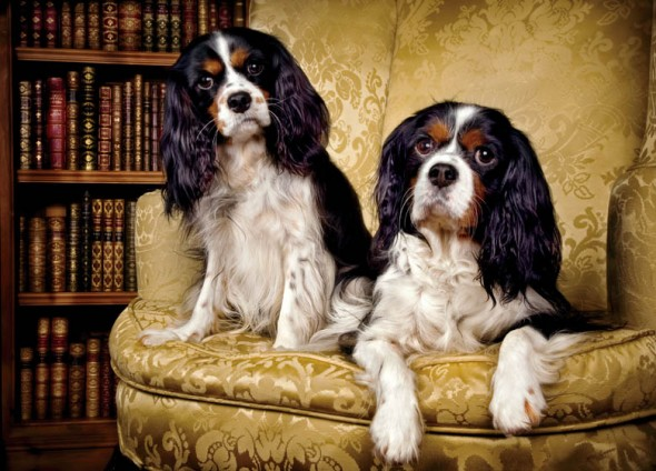 King-Charles-Spaniels- tricolor painting