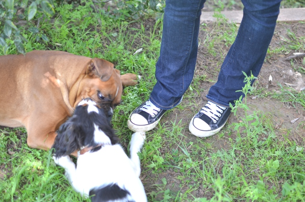 Maximo and Spot Boxer and cavalier