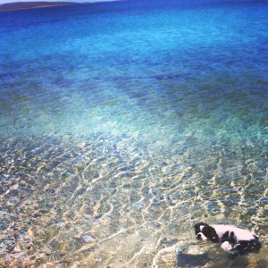 Blue sea and cavalier King Charles Spaniel swimmin