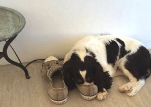Spot sleeping in dads shoes