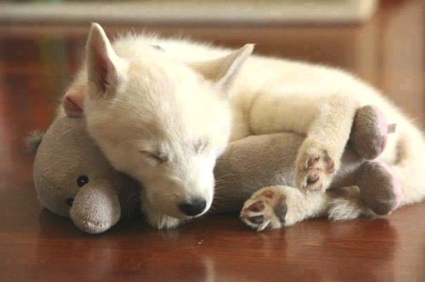 dog sleeping with toy
