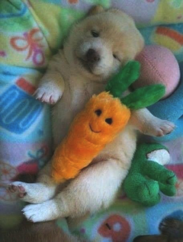 dog sleeping with a carrot toy