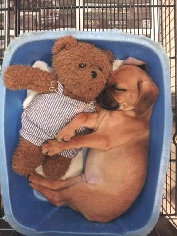boxer sleeping with bear toy
