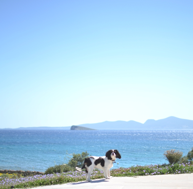 Greek Island dog cavalier