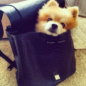 fluffy-dog-in-designer-handbag-da-booboo-dog-proenza-schouler-ps-backpack-in-python-leather