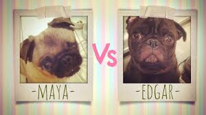 MAYA VS EDGAR VIDEO | The master pug