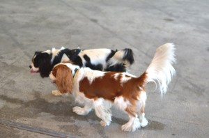 Two cavaliers