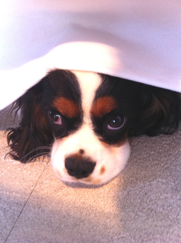 A celebration of the Cavalier King Charles Spaniel