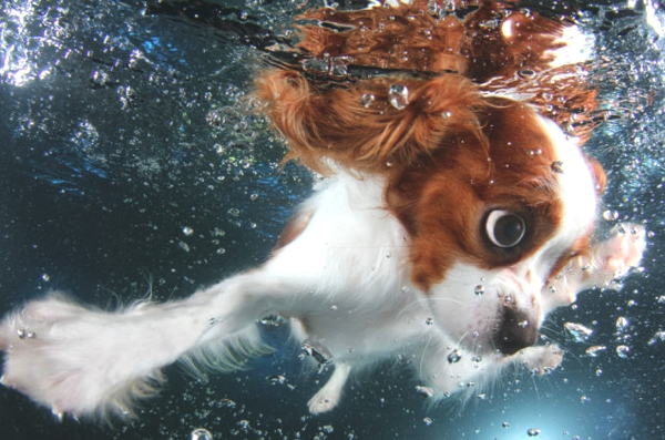 Christmas Gift Underwater Puppies cavalier king charles