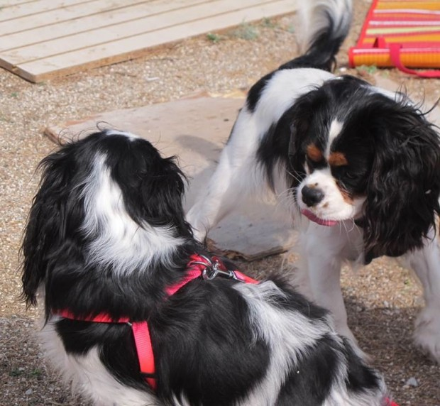 Tricolor cavaliers puppy love
