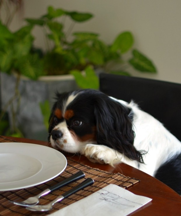 Spot Cavalier King Charles Table