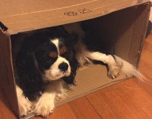 Cavalier King Charles in a carton box00