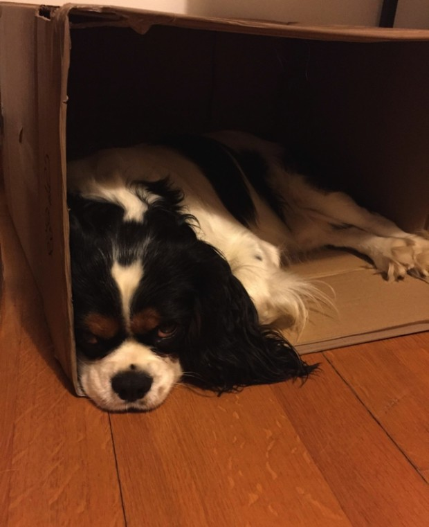 Cavalier King Charles in a carton box01