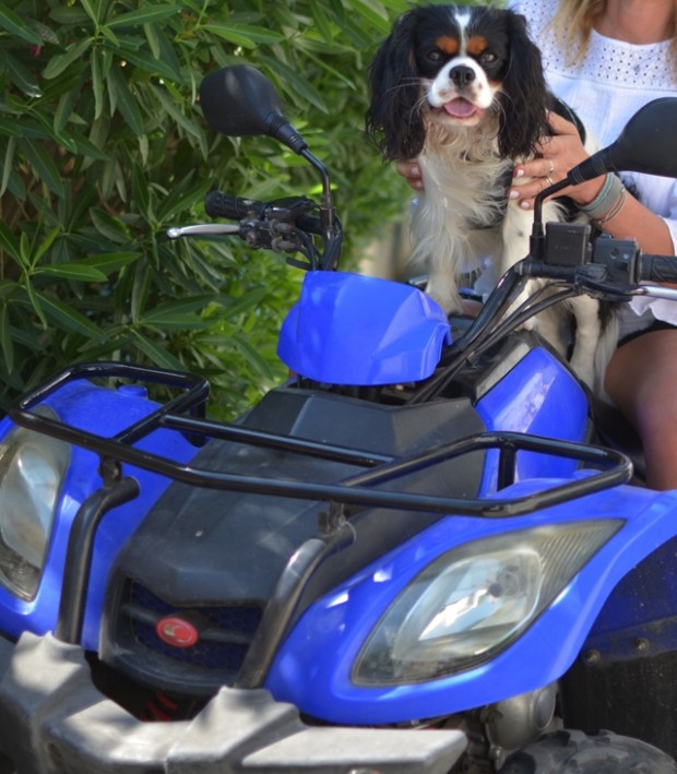 Cavalier King Charles suzuki 4 wheel bike, prince Spot