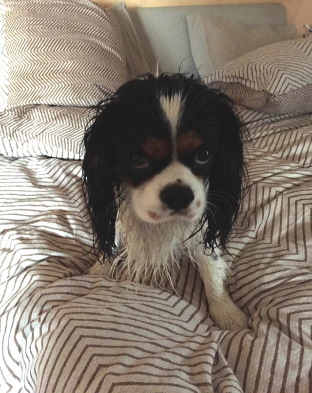 King Charles Cavalier wet sad