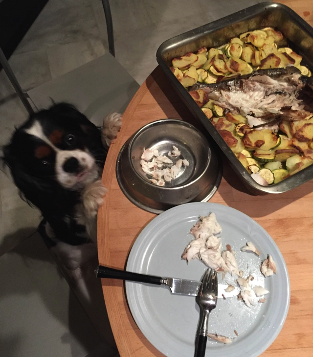 Cavalier King charles Spot loves fish and cats