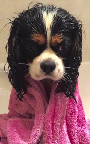 king-charles-cavalier-spot with towel